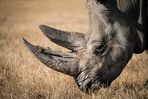 Picture of a Rhino seen on safari in South Africa