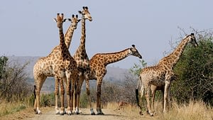 Picture of giraffes roaming the Hluhluwe Game Reserve in South Africa