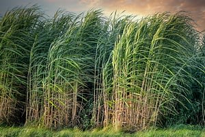 Picture of sugarcane blowing lightly in the breeze