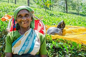 Picture of a local smiling amid the tea leaves at a Tea Estate