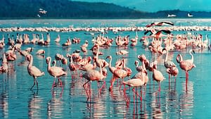 Pink Flamingos flock to the waters in Kenya Africa