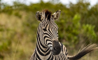 Picture of a Zebra seen on an African Safari