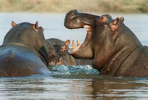 Hippos wading through a river