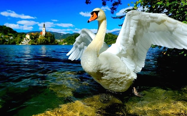 Picture of a large swan against the lake with a Slovenian castle and hills in the background
