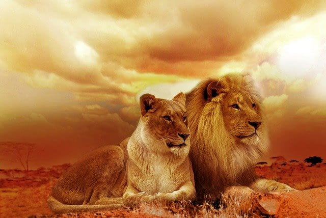 Picture of lions in South Africa