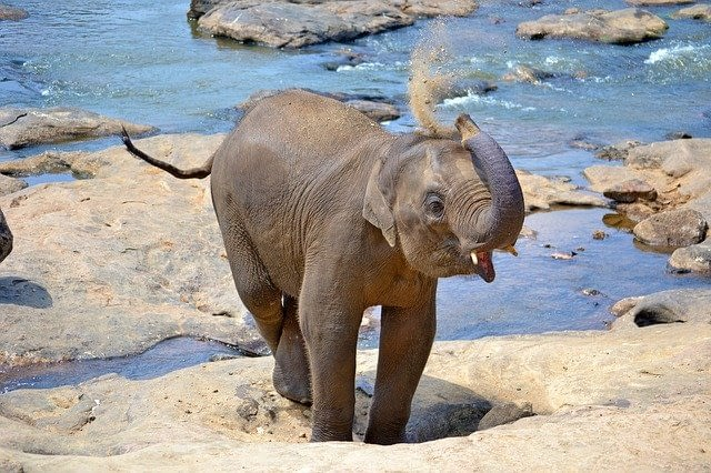 Picture of a baby elephant at the Pinnewela Elephant Orphanage