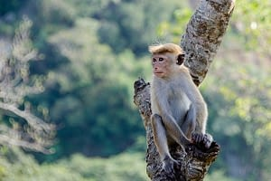 Picture of a monkey, another animal you may see during your travels in Sri Lanka