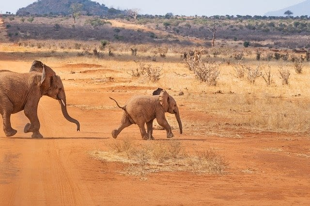 Baby elephants playing chase through the African plains